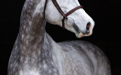 Framgångsrika SWB-hästar och uppfödare nominerade!
