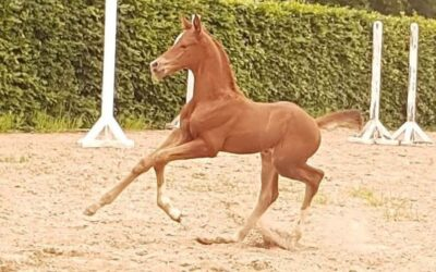 SWB Foal Show på Falsterbo Horse Show