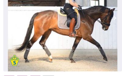 Hästlycka och Ridsport – nya marknadsplatser för SWB-hästar